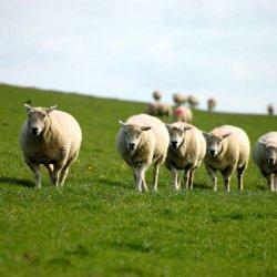 Schafe Friesland